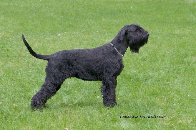 Knírač velký černý. Pes s dobráckých charakterem 080a5d34db