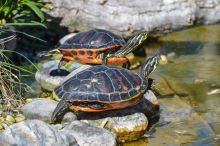 Vodní želvy a péče o krunýř