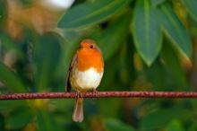 Pták roku 2016 – červenka obecná