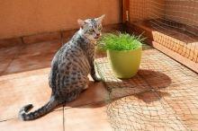 Egyptská kočka mau