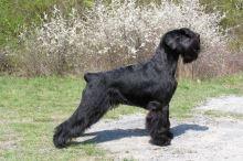 Knírač střední černý