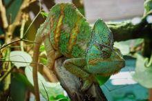 Chov chameleonů