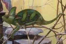 Nejčastější nemoci chameleona jemenského