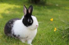 Na vycházce se zakrslým králíkem