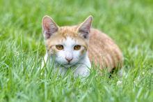 Proč kočka žere trávu