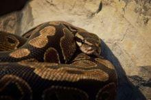 Jakého hada na chov