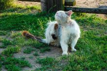 Jak zbavit kočku svrabu